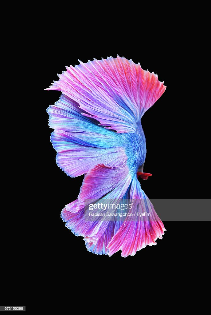 Siamese Fighting Fish Stock Photos And Pictures