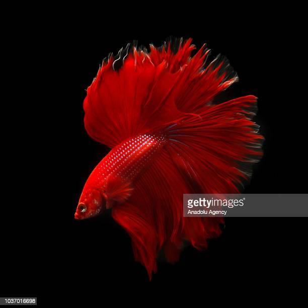 Siamese Fighting Fish also known as Betta splendens mostly imported to United States from Indonesia Vietnam Thailand and Singapore is seen in an...