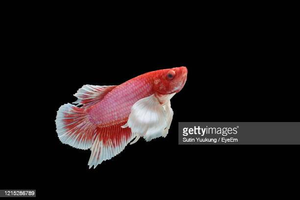 siamese fighting fish, betta splendens, colorful fish on a black background, halfmoon betta. - freshwater stock pictures, royalty-free photos & images