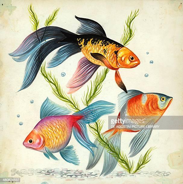 Siamese fighting fish illustration