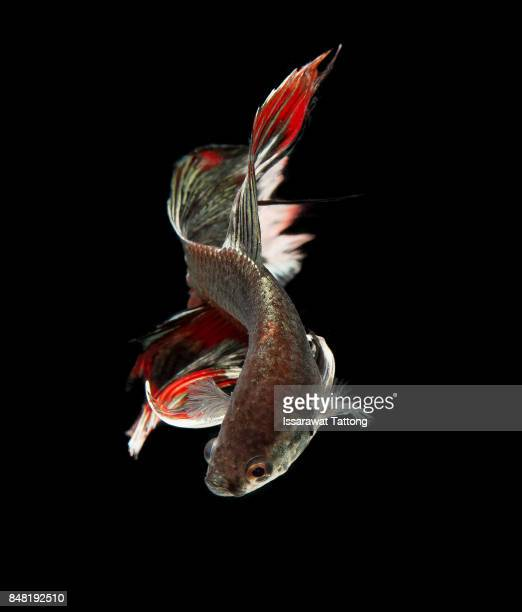 Siamese fighting fish in action,