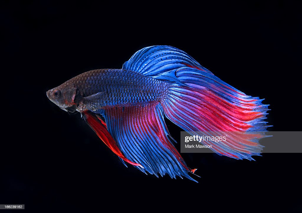 Siamese Fighting Fish : Stock Photo