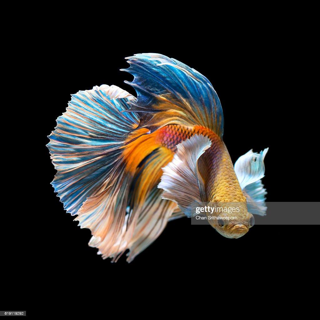 Siamese fighting fish : Stock Photo