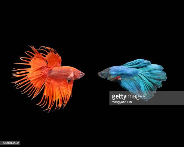 siamese fighting fish - contrasti foto e immagini stock