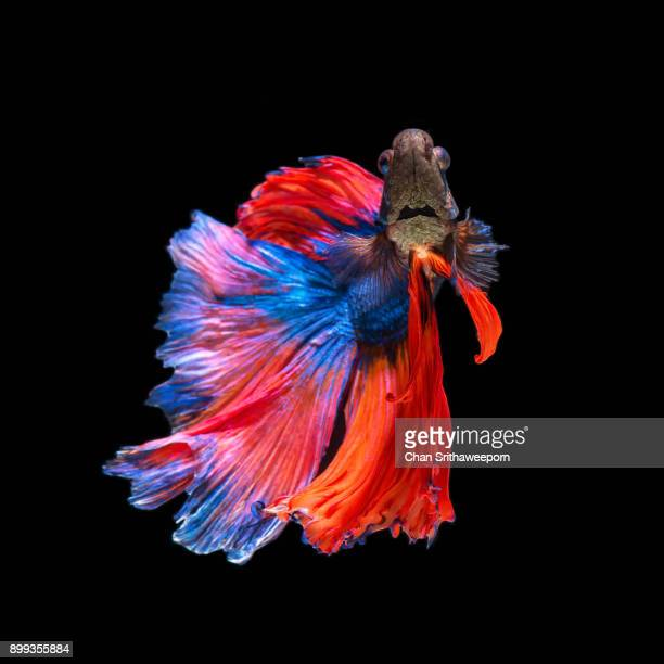 siamese fighting fish - siamese fighting fish stock pictures, royalty-free photos & images