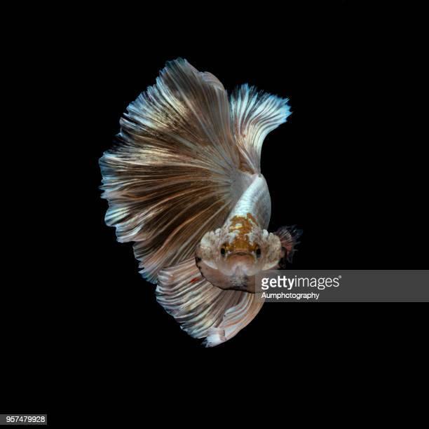 Siamese fighting fish (betta)