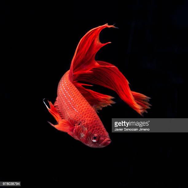 siamese fighting fish (betta splendens) - poisson photos et images de collection