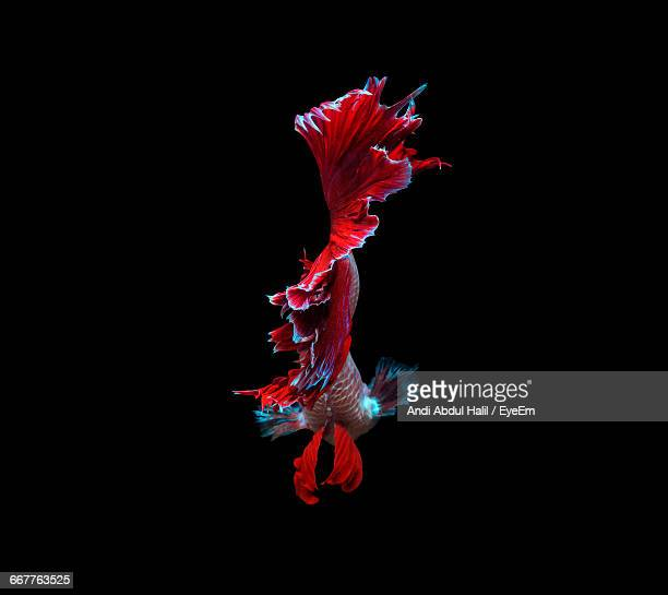 Siamese Fighting Fish Swimming In Tank Against Black Background