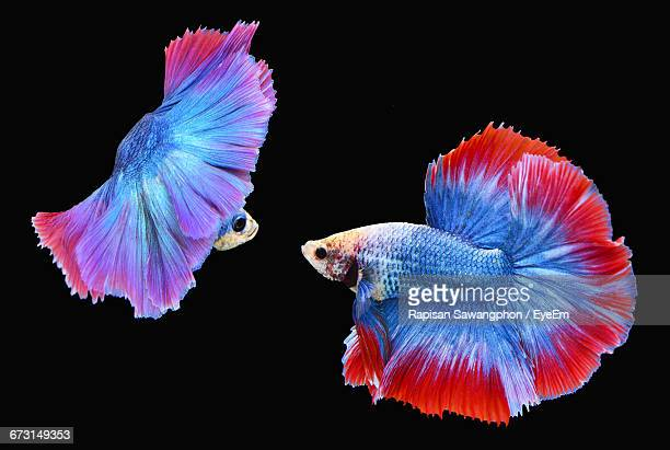 Siamese Fighting Fishes Against Black Background