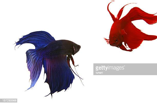 Siamese Fighting Fishes