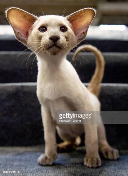 Siamese kitten Alderstar Razamataz participates in the GCCF Supreme Show at NEC Arena on October 27, 2018 in Birmingham, England.
