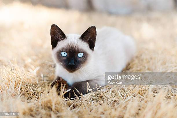 Siamese kitten laying in grass