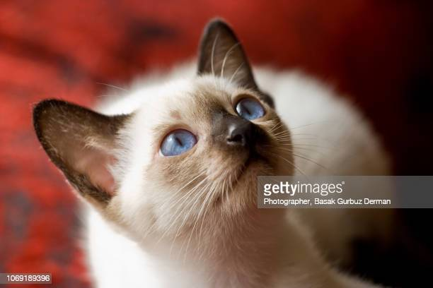 siamese kitten - siamese cat stock pictures, royalty-free photos & images