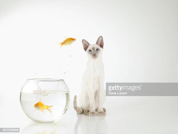 Siamese kitten with jumping goldfish