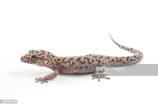 """siamese leaf-toed gecko """"spotted ground gecko"""" - dixonius siamensis - geco foto e immagini stock"""