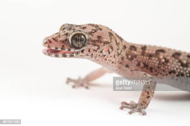 "Siamese Leaf-toed Gecko ""Spotted Ground Gecko"" - Dixonius siamensis"