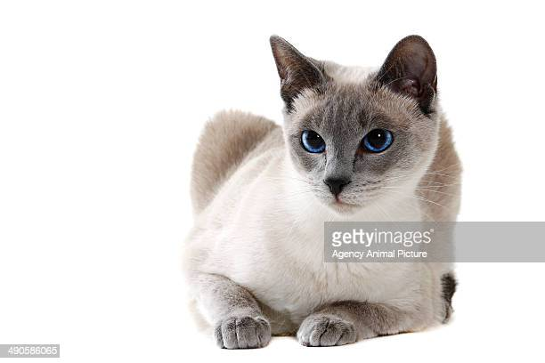 siamese - siamese cat stock pictures, royalty-free photos & images