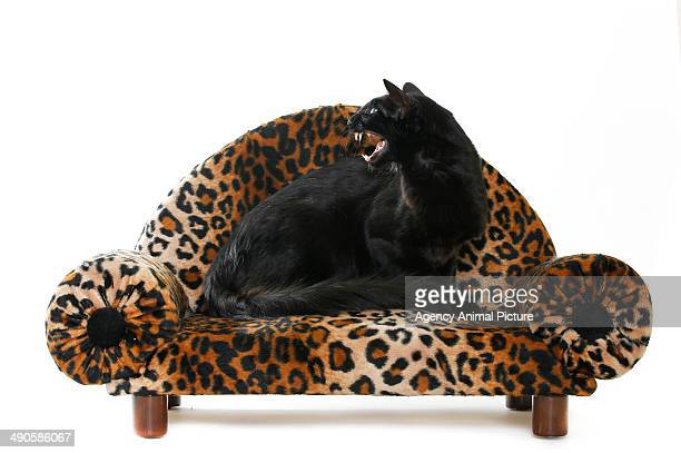 siamese - black siamese cat stock pictures, royalty-free photos & images