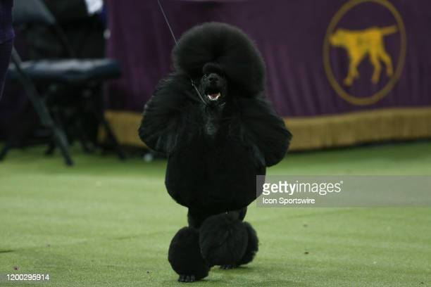 Siba a Standard Poodle competes during the Best in Show during the Westminster Dog Show on February 11, 2020 at Madison Square Garden in New York, NY.