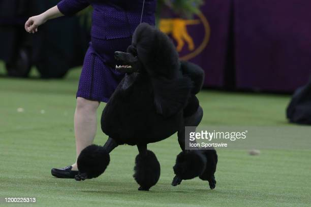 Siba a Standard Poodle wins Best in Show at the Westminster Dog Show on February 11 2020 at Madison Square Garden in New York NY