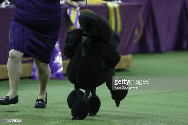 Siba a Standard Poodle wins Best in Show at the Westminster Dog Show on February 11, 2020 at Madison Square Garden in New York, NY.