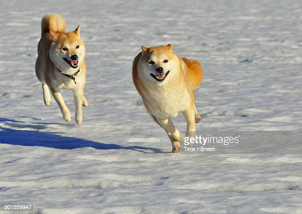 siba inu's running in the snow - shiba inu winter stock pictures, royalty-free photos & images