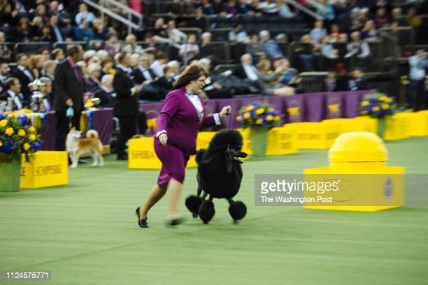 Siba the Poodle competes at the Westminster Kennel Club Dog Show at Madison Square Garden New York United States of America on February 11 2019