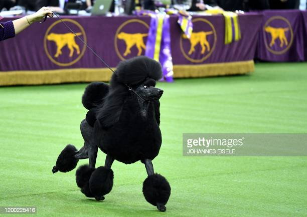 Siba, the standard poodle, competes to win Best in Show at the 144th annual Westminster Kennel Club Dog Show at Madison Square Garden on February 11,...