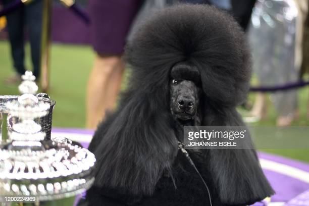 Siba the standard poodle poses with the trophy after winning Best in Show at the 144th annual Westminster Kennel Club Dog Show at Madison Square...