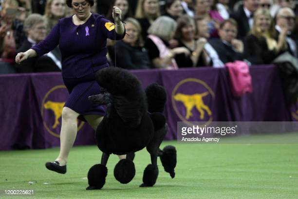 Siba the Standard Poodle wins the 2020 Best in Show at the Westminster Kennel Club Dog Show in New York City at the Madison Square Garden on February...