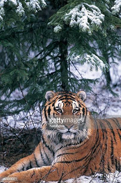 Siberia Tiger (Panthera tigris altaica)