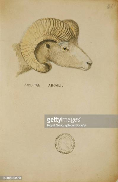 Siberian argali From a book of watercolour sketches by John Hanning Speke and James Augustus Grant of buck and other fauna seen in Africa circa 186063