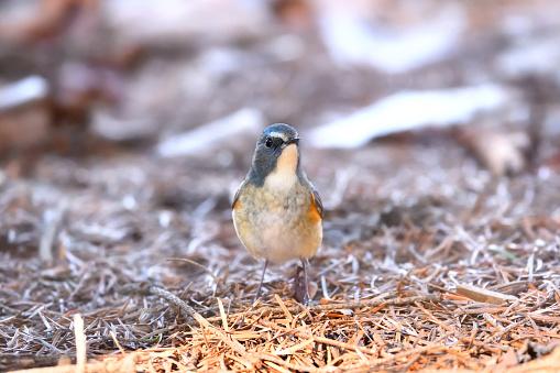 A Siberian blue-tail - gettyimageskorea