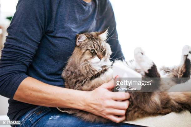 Siberian Cat on Owner's Lap