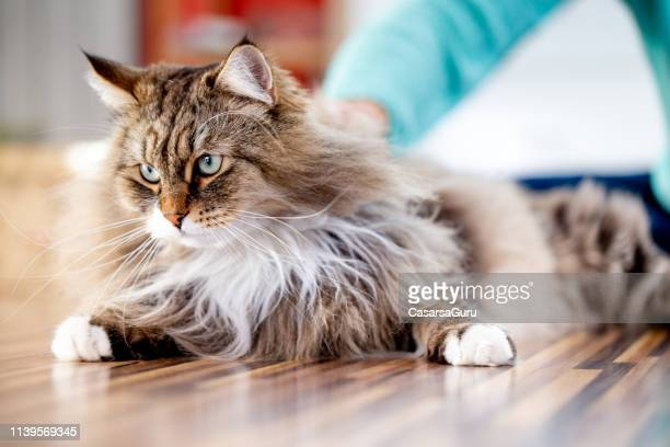 siberian cat relaxing on the floor indoors - fluffy stock pictures, royalty-free photos & images