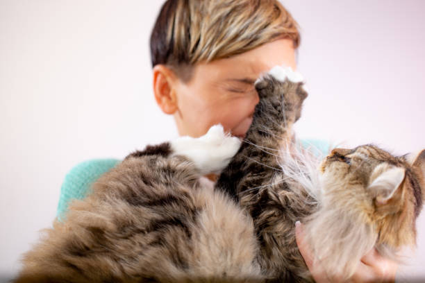 siberian cat scratching his owner - cat scratching stock pictures, royalty-free photos & images