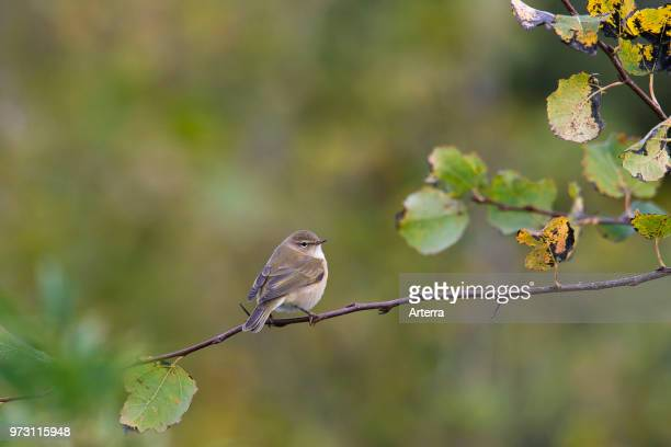 Siberian chiffchaff perched in tree in autumn Sweden