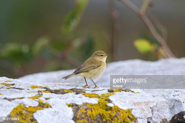 Siberian chiffchaff perched on rock in autumn Sweden