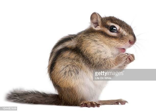Siberian chipmunk - Euamias sibiricus