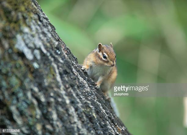 Siberian chipmunk on a tree trunk, Tokachi, Hokkaido, Japan