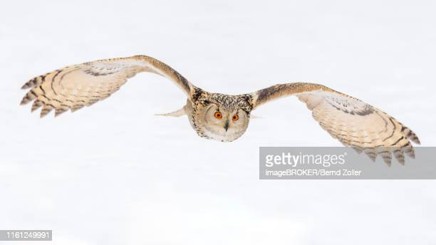 siberian eagle owl (bubo bubo sibiricus), adult female flying over snow, captive, bohemia, czech republic - gufo reale foto e immagini stock