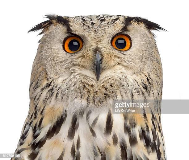 Siberian Eagle Owl isolated on white