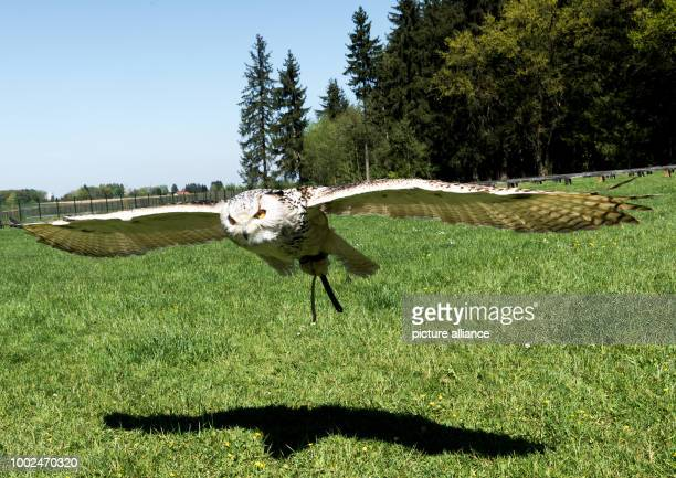 Siberian eagle-owl flies at the wild park in Poing, Germany, 10 May 2017. Photo: Alexander Heinl/dpa