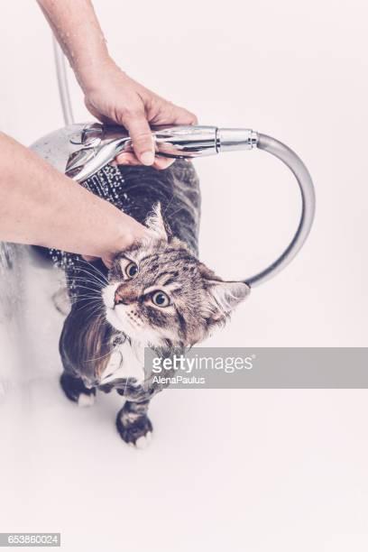 Siberian forest cat  having a bath
