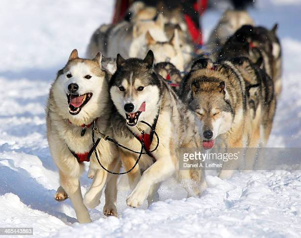 siberian huskies - dog sledding stock photos and pictures