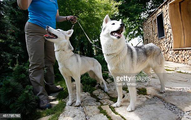 Siberian Huskies play in a Canadian inspired woodland garden at the Hampton Court Palace Flower Show at Hampton Court Palace on July 7 2014 in London...