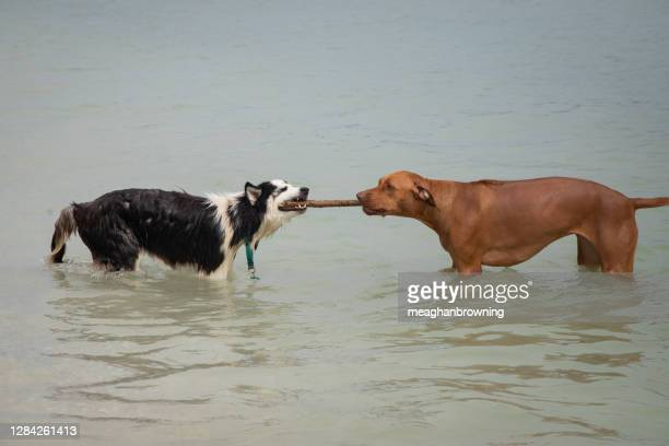 siberian husky and a rhodesian ridgeback having a tug of war in ocean, florida, usa - dogs tug of war stock pictures, royalty-free photos & images