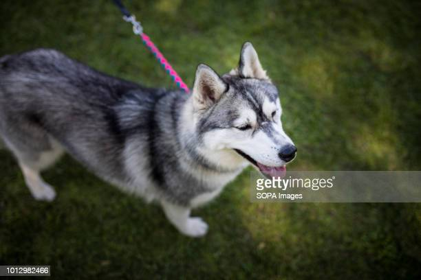 60 Top Siberian Husky Pictures, Photos and Images - Getty Images