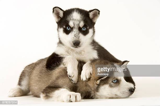 Siberian Husky Stock Photos And Pictures