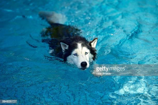 Siberian husky dog in a swimming pool